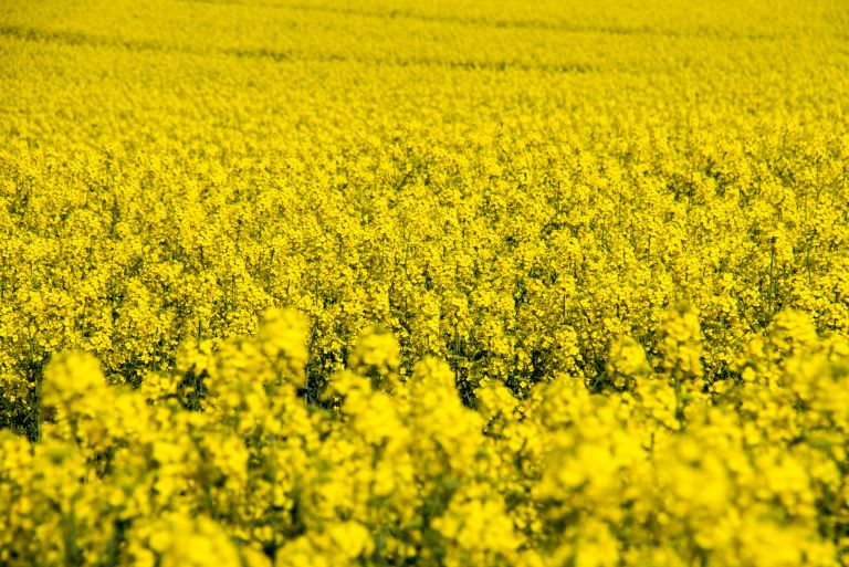 A field of rapeseed oil plants blossoming.