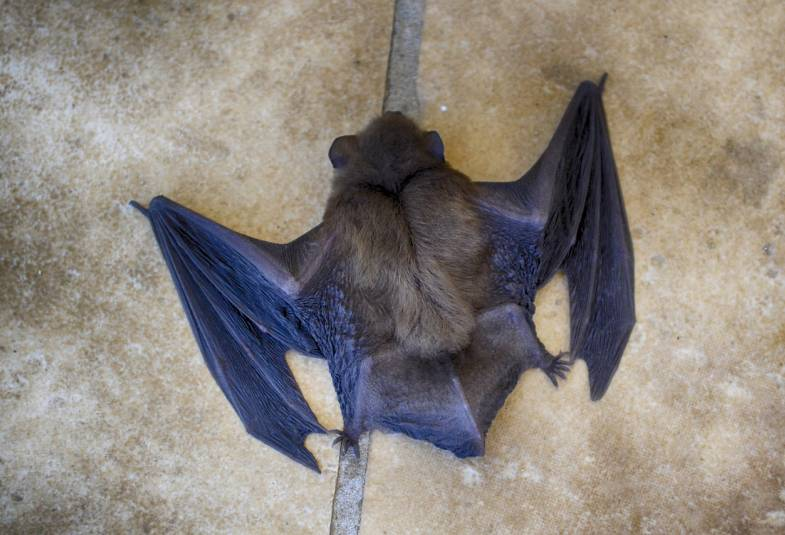 Close up of the back of a bat with its wings spread out
