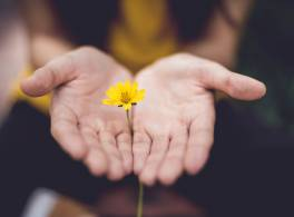 Two hands holding a buttercup flower.
